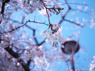 空,花,春,桜,木,屋外,ピンク,青空,枝,花見,樹木,お花見,イベント,街灯,草木,桜の花,さくら,ブロッサム