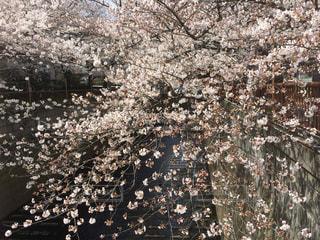 花,桜,木,屋外,川,景色,満開,ブルーム