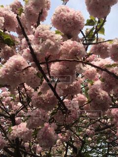 空,春,桜,木,ピンク,満開,八重桜,桜の花,さくら,ブルーム,ブロッサム
