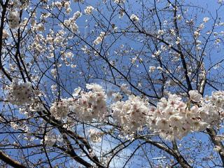 空,春,屋外,青空,樹木,桜の花,さくら,ブルーム,ブロッサム