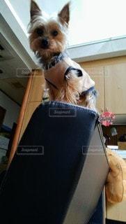 犬,動物,屋内,ジャンプ,ソファー,癒し,ヨークシャーテリア,ヨーキー,ゴールド,猫みたい,ソファーの背もたれ,身体能力高め