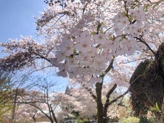 桜の写真・画像素材[2994266]