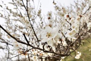 梅の写真・画像素材[3017553]