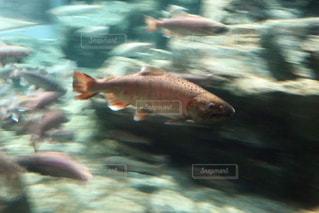 川魚の写真・画像素材[3026929]
