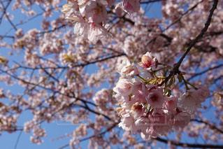 木の枝に咲くピンクの花のグループの写真・画像素材[3038368]