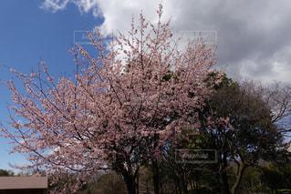 空,花,春,屋外,樹木,草木,さくら,ブロッサム