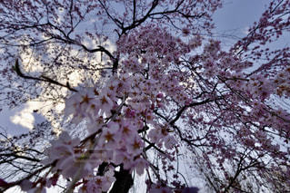 ピンクの花を持つ木の写真・画像素材[3044011]