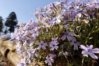 花,春,芝桜,羊山公園,草木,ブルーム,羊山,フローラ