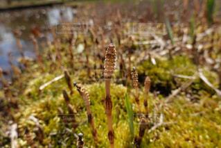 春,動物,屋外,草,昆虫,つくし,草木,キャタピラー