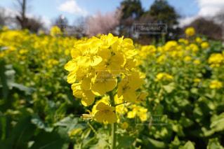黄色い花の写真・画像素材[3044012]