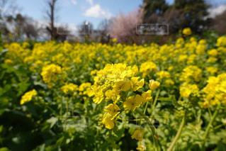 野原の黄色い花の写真・画像素材[3044014]
