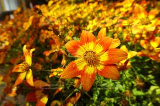 花,ひまわり,オレンジ,草木,花粉