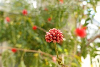 花,屋外,樹木,つぼみ,蕾,草木,カリアンドラ