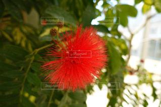 木からぶら下がっている赤い花の写真・画像素材[3044017]