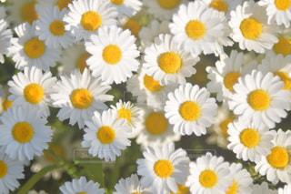 花,白,黄色,デイジー,夕陽,草木,フランスギク