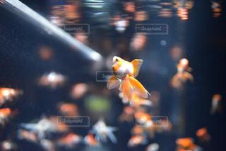 夏,動物,魚,水,水族館,金魚,水槽,単焦点