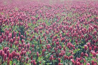 風景,花,春,屋外,赤,紫,景色,草木,フローラ
