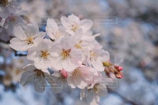 花,春,ピンク,景色,野外,四季,草木,桜の花,淡い,さくら,ブロッサム