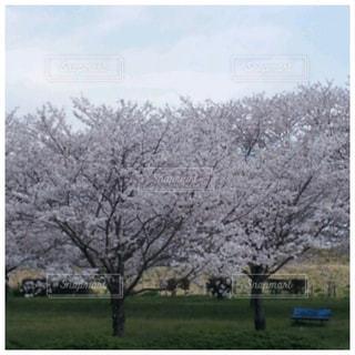 公園,花,春,屋外,景色,桜の花,日中,さくら