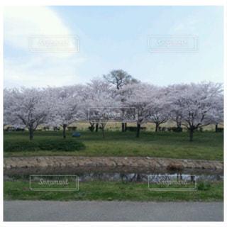 風景,空,公園,花,桜,屋外,景色,満開,草,樹木,草木