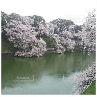 自然,空,花,春,桜,屋外,水面,満開,樹木,千鳥ヶ淵,草木