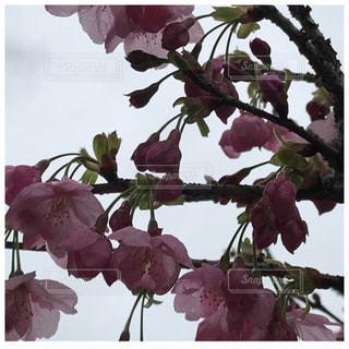 空,桜,屋外,満開,八重桜
