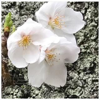 花,桜,木,花びら,花蓮,染井吉野