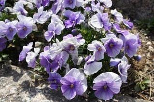 風景,花,春,紫,鮮やか,道端,花壇
