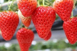 苺,果物,おいしそう,真っ赤,イチゴ,イチゴ狩り