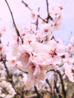 梅の花の写真・画像素材[3014439]