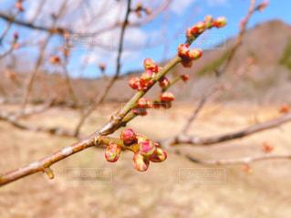 梅のつぼみの写真・画像素材[3015604]