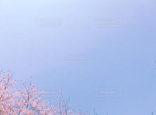 風に舞う桜の花びらの写真・画像素材[3019459]