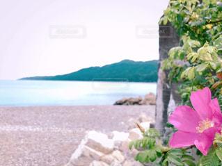 浜辺に咲く花の写真・画像素材[3019461]