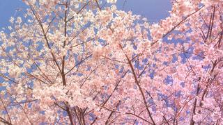 満開の桜の写真・画像素材[3039249]
