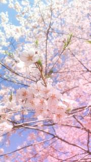 桜の花の写真・画像素材[3039276]