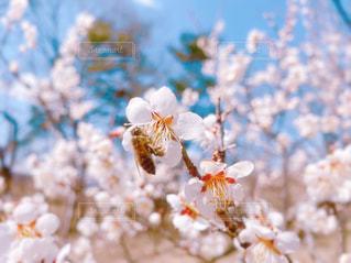 梅の花とミツバチの写真・画像素材[3059200]