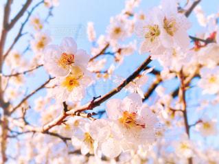 梅の花の写真・画像素材[3063771]