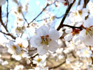 梅の花の写真・画像素材[3063772]