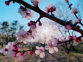 ピンクの梅の花の写真・画像素材[3063935]