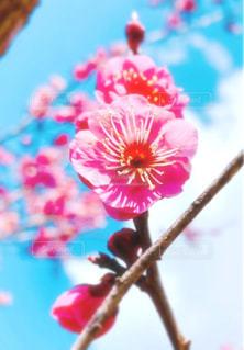 ピンクの梅の花の写真・画像素材[3063950]