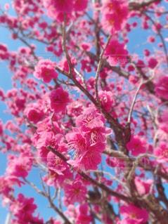 鮮やかなピンクの梅の花の写真・画像素材[3063951]