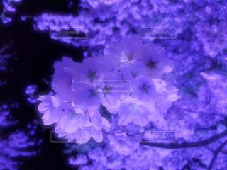 夜桜2019の写真・画像素材[3063959]