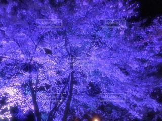 満開の夜桜2019の写真・画像素材[3063958]