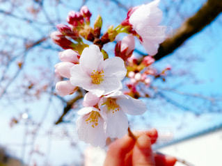 桜の花の写真・画像素材[3084273]