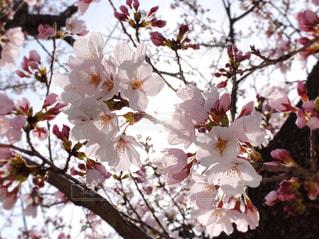 桜の花の写真・画像素材[3084274]
