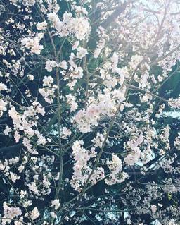 花,春,桜,春の花,満開の桜
