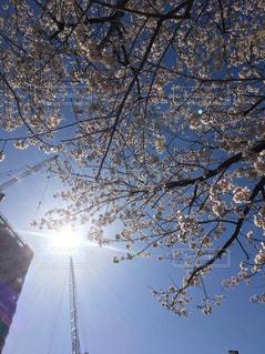 春,桜,お花見,快晴,さくら,桜満開,桜と空,春満開