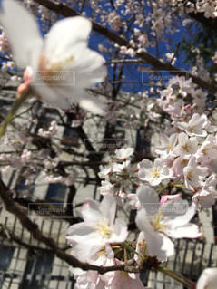 花,春,桜,桜の花,春の花,さくら,桜満開,桜写真