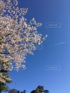 空,花,春,桜,飛行機雲,桜の花,さくら,快晴と桜