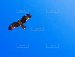 澄んだ青空に飛んでいる鳥の写真・画像素材[3007179]
